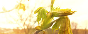 bachbluete-No-07-chestnut-bud-gewoehnliche-rosskastanie