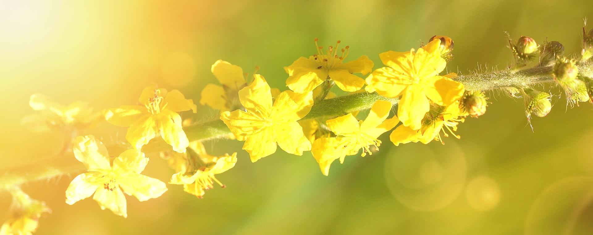 bachbluete-No-01-agrimony-kleiner-odermennig