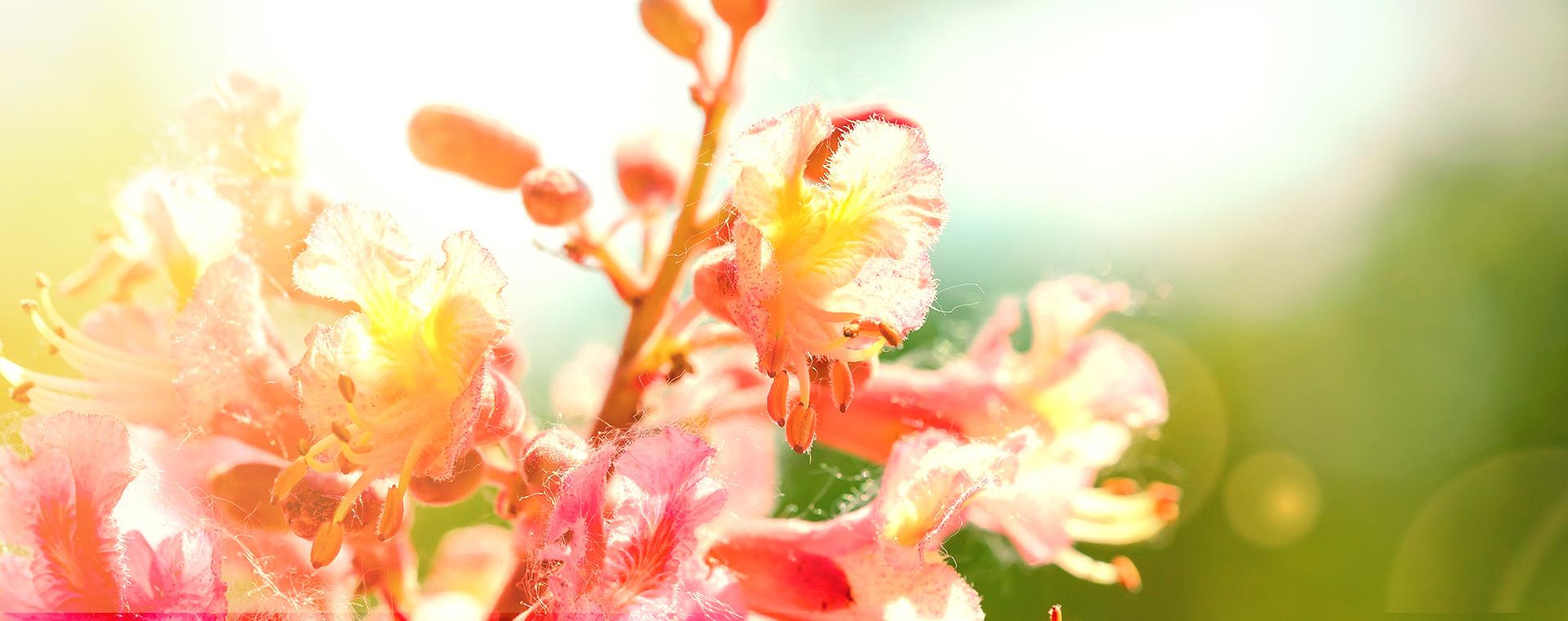 bachbluete-No-25-red-chestnut-rote-rosskastanie